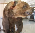0273 Brown Bear in Smithers air terminal