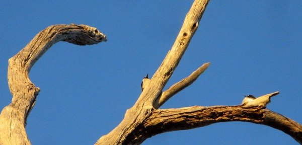 0498 Birds Snake Tree