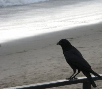 0803 Innocent Crow