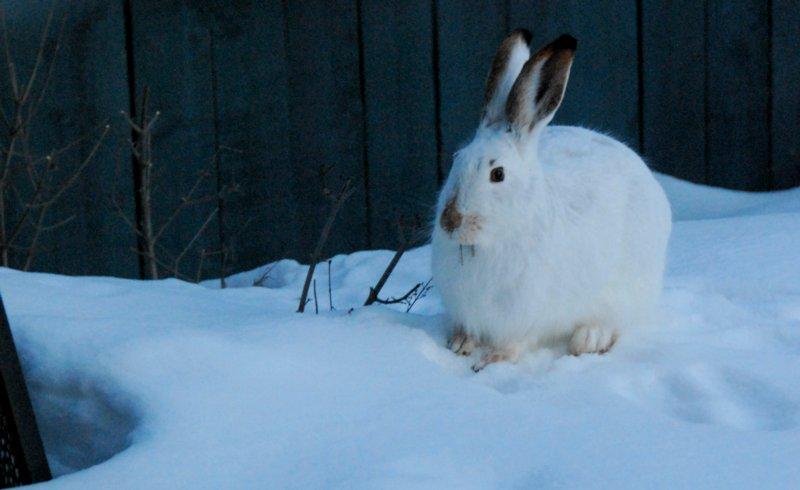 5685 Big Bunny