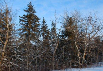 5750 Gnarled Bare Birches