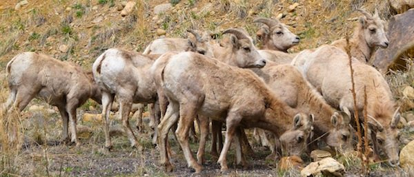 0693 Wild Sheep