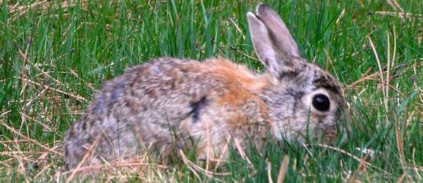 0716 Wild Bunny