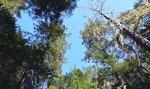 0493 Owings Redwoods