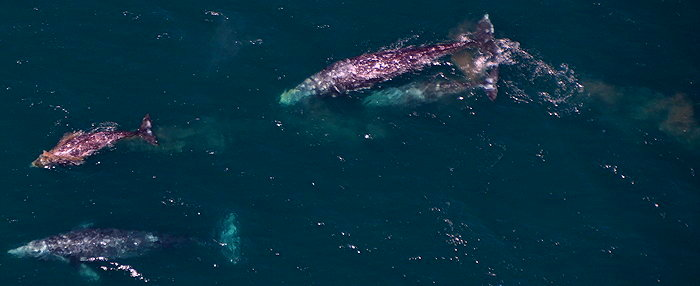 3585 Brown Gray Whales