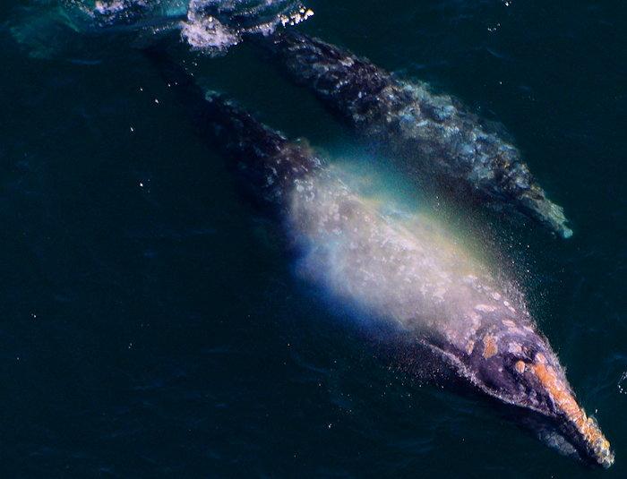 3703 Rainbow Whale Blow