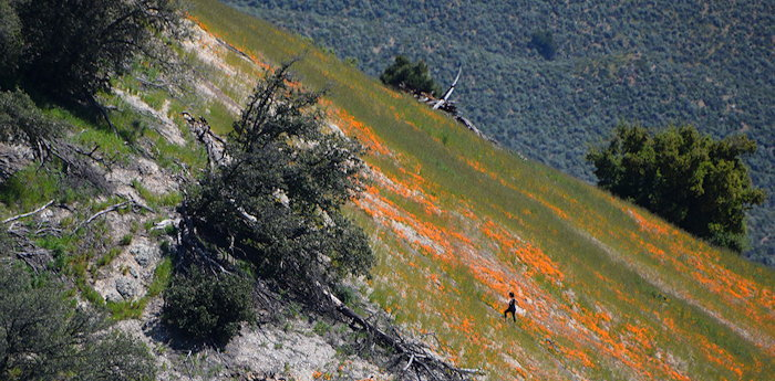 7395 Grass Mtn Poppies